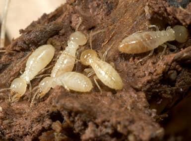 termites in water damaged wood