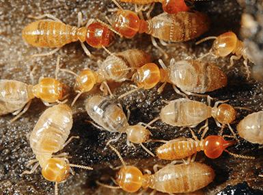 termites up close in illinois
