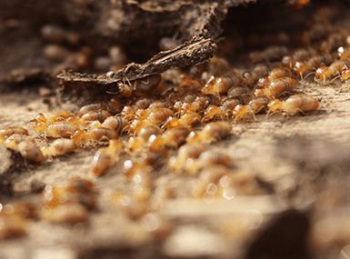 termites found in illinois home