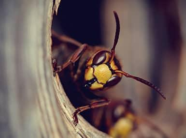 yellow jacket looking out form a nest