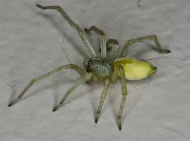 a large yellow sacked spider infesting the residence of a moline illinoi home