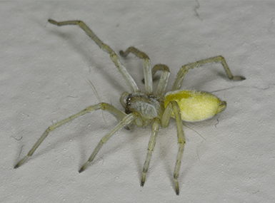yellow sac spider on floor