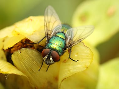 a blow fly on a flower in sandwich illinois