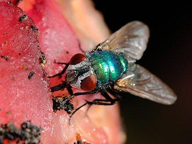 blow fly on meat