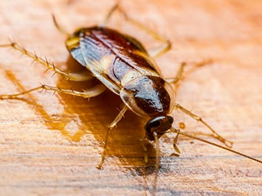 a brown banded cockroach on a dining room table in geneseo illinois