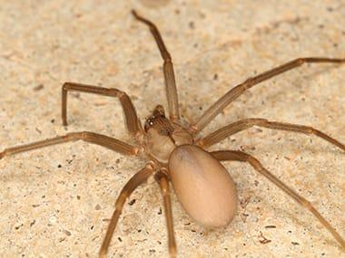 brown recluse on counter in streator home