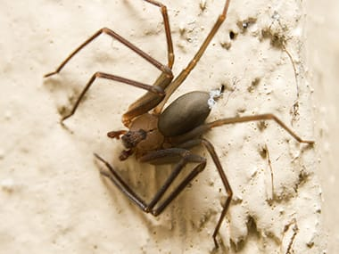 a brown recluse spider crawling inside a home in mendota illinois