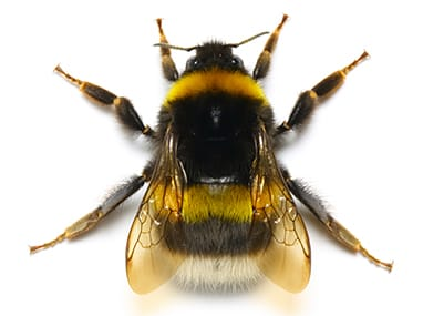 a bumble bee on a white background