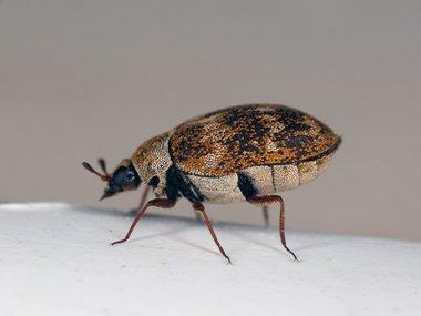 carpet beetle crawling