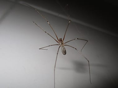 cellar spider in a illinois home basement