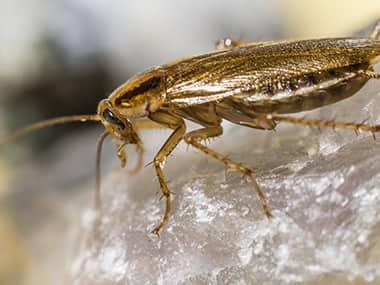 a cockroach crawling on a rock outside of a home in peoria illinois