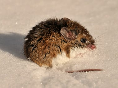 a deer mouse in the snow outside of a home in streator illinois