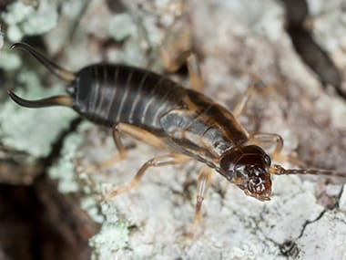an earwig crawling on the ground outside of a home in eldridge iowa