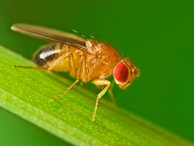 a fruit fly on a blade of grass in davenport iowa