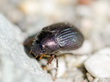 a ground beetle crawling on the ground outside of a home in dwight illinois
