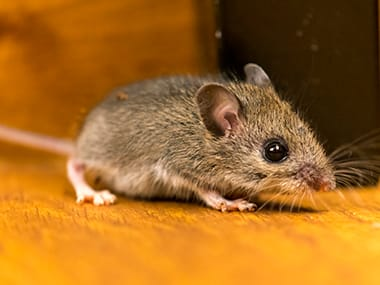 a house mouse crawling on a table in a home in la salle illinois