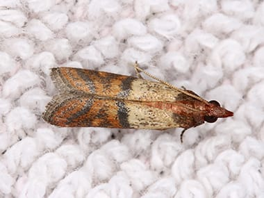 an indian meal moth on carpeting in a home in sandwich illinois