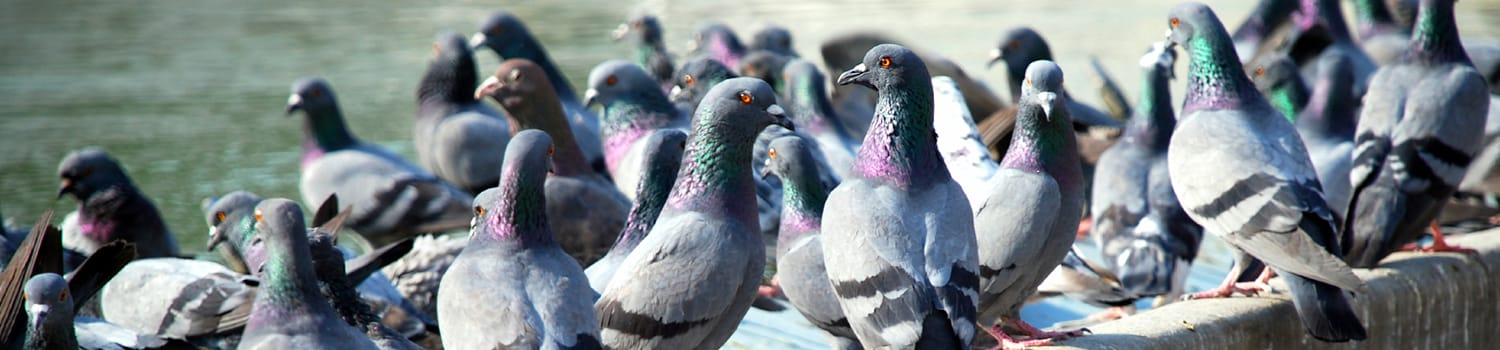 a flock of pigeons outside an office building in canton illinois