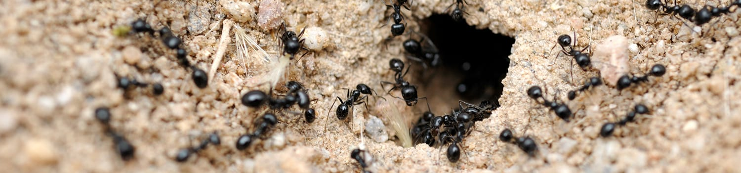 an ant colony crawling on the ground outside of a home in ottawa illinois
