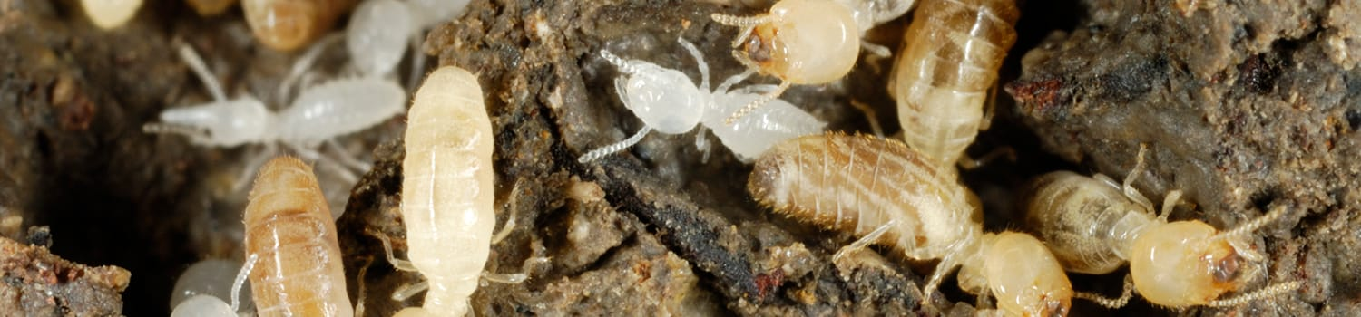 several subterranean termites under a home in streator illinois