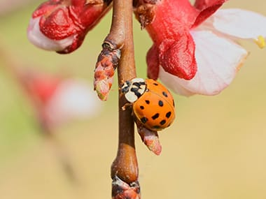 a lady beetle on a tree branch outside of a home in rock island illinois