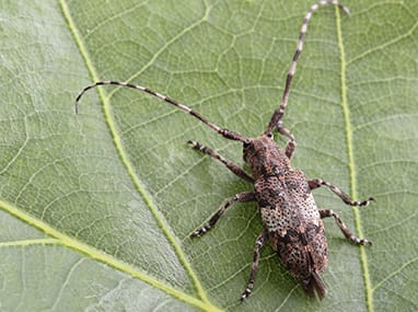 a long horned beetle on a leaf outside of a home in rock island illinois