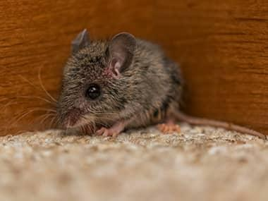 a mouse in a living room in a home in peoria illinois