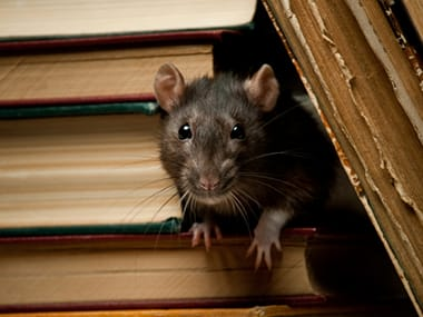 a norway rat in a bookcase inside of a home in morris illinois