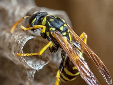 a paper wasp on its nest in geneseo illinois
