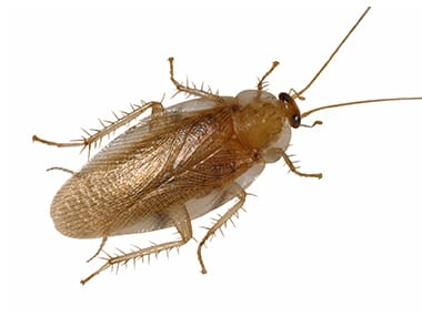 a pennsylvania wood cockroach on a white background