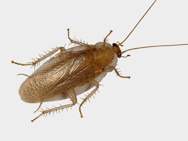a pennsylvania wood cockroach on a gray background