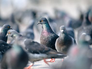 a flock of pigeons outside a commercial building in mendota illinois