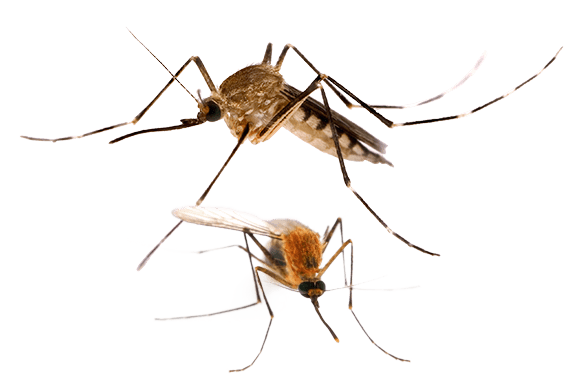 two mosquitoes on a white background