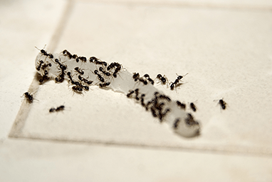 many ants in a bathroom in a home in kankakee illinois