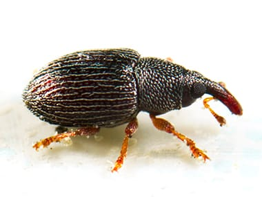 a rice weevil on a white background