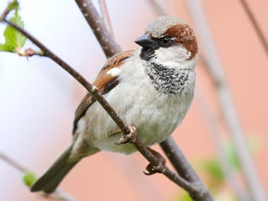 a sparrow sitting on a branch outside of a home in plano illinois