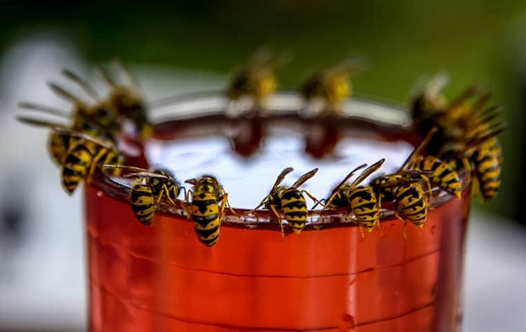 wasps around cup lid