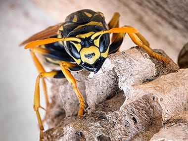 a yellow jacket wasp in a nest under a roof in streator illinois