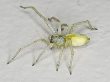 a yellow sac spider on a counter in a home in washington illinois