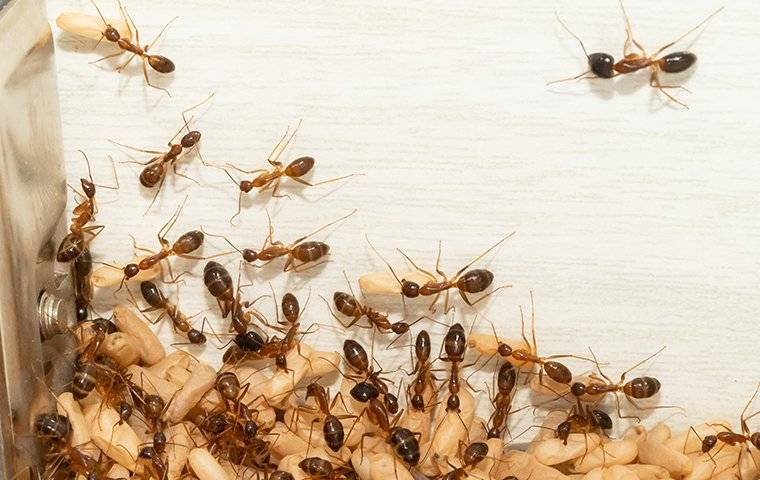 crazy ants carrying larvae