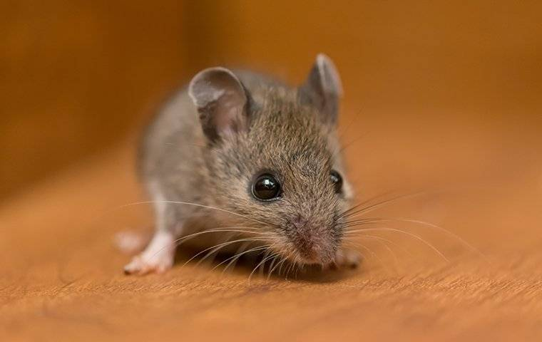 little baby house mouse