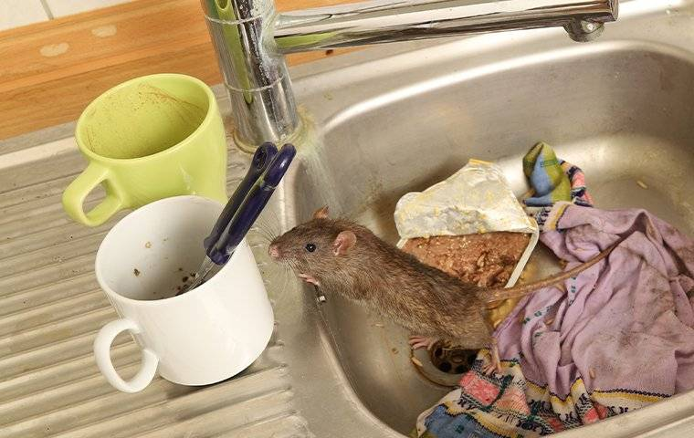 a rat in a dirty sink
