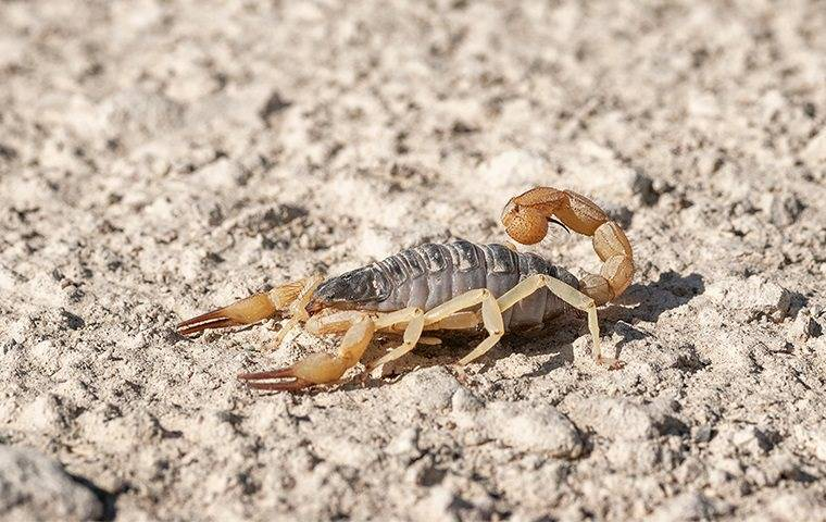 scorpion on desert sand