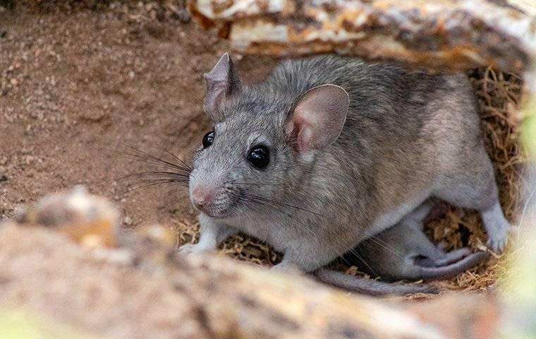 a pack rat