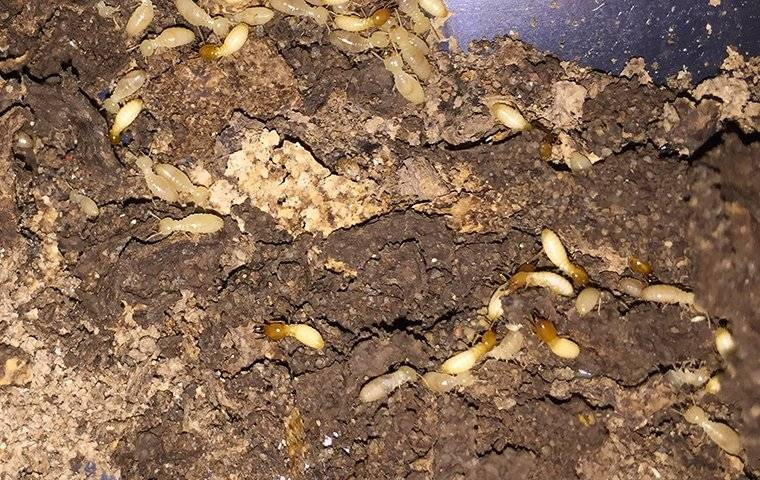 termites in house