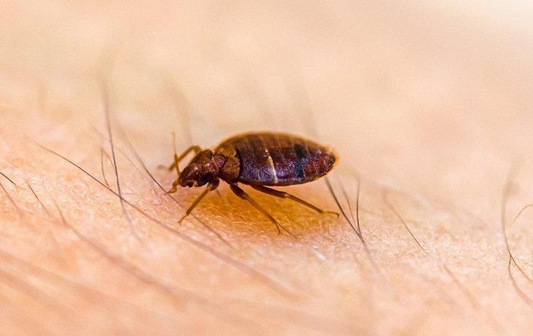 a bed bug crawling on skin sucking blood