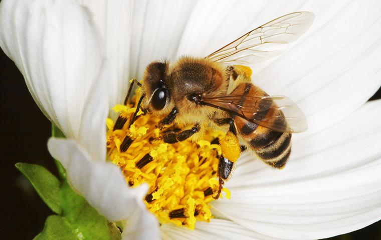 a bee getting pollen from a white flower