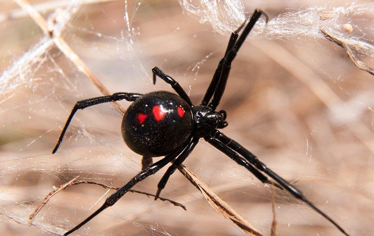 black widow spider on a web in a yard
