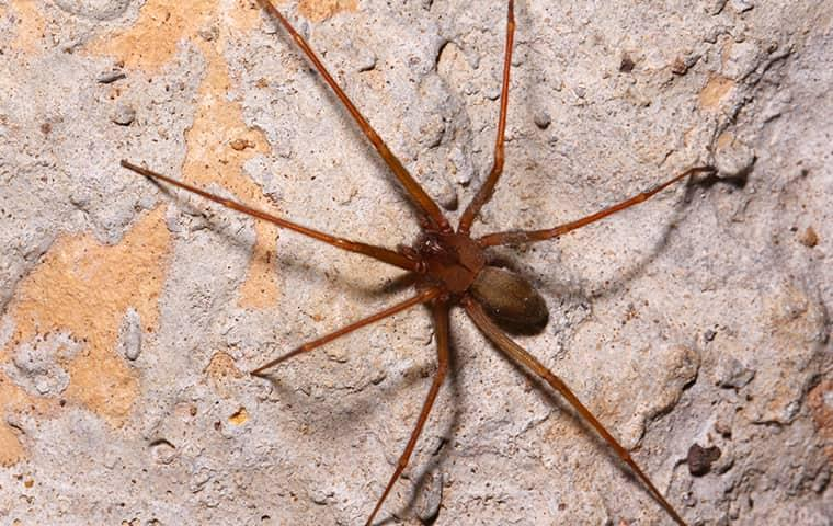 a brown recluse spider on a stone foundation