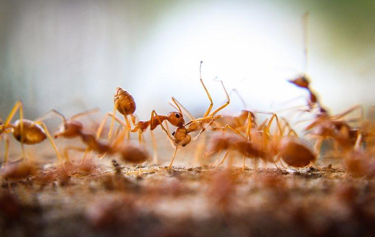 a cluster of fire ants on landscaping